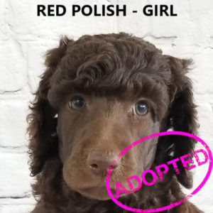 Available Puppies - Poodles of Piedmont